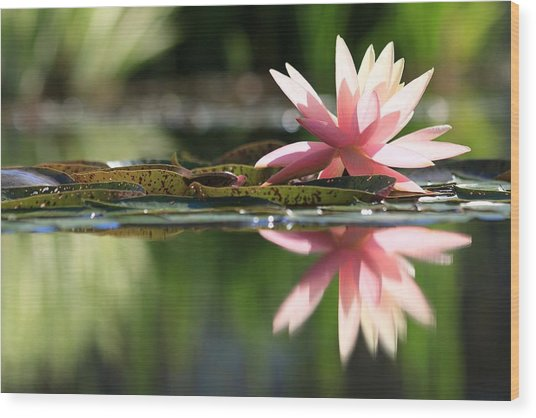 Soft Pink Water Lily Wood Print