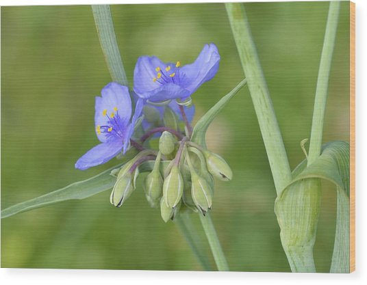 Soft Purple Spider Wood Print