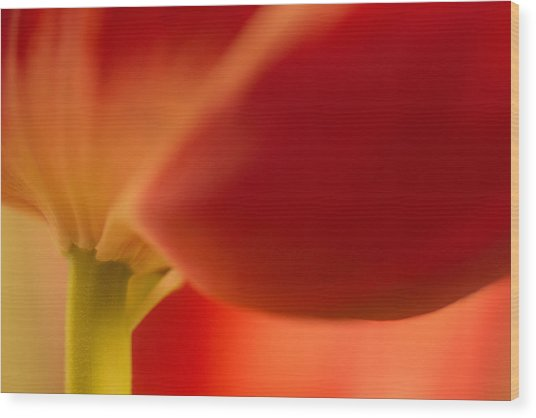 Soft Tulip Wood Print