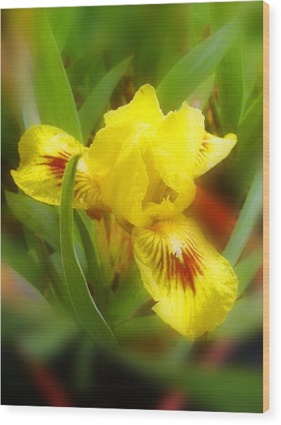 Soft Yellow Iris Wood Print