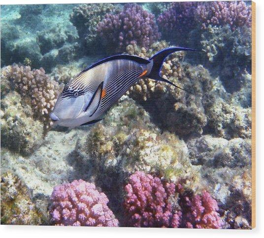 Sohal Surgeonfish 5 Wood Print