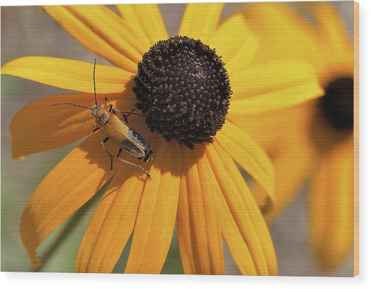 Soldier Beetle On His Flower Wood Print