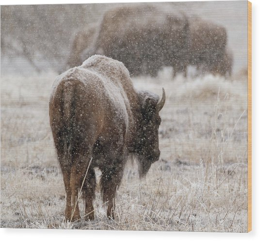 American Bison In Snow Wood Print