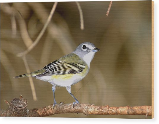 Solitary Vireo Wood Print by Alan Lenk