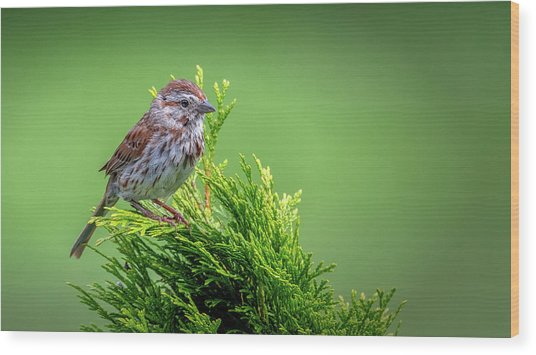 Song Sparrow Perched - Melospiza Melodia Wood Print