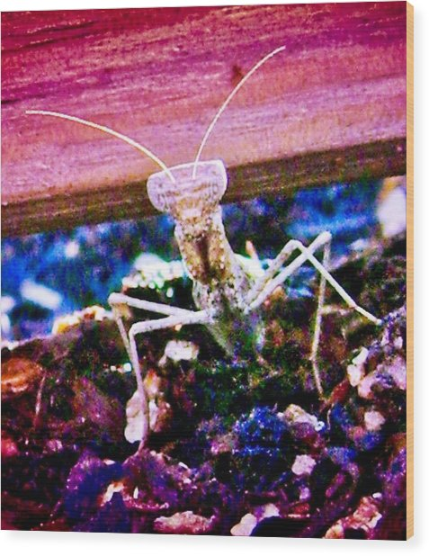 Sonoran Desert Ground Mantis Wood Print