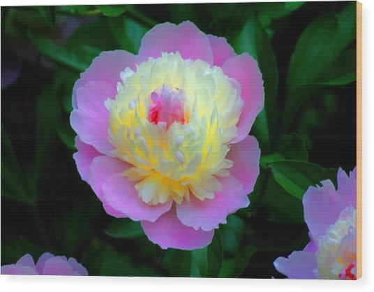Sorbe Peony Illuminated Wood Print by Martin Morehead
