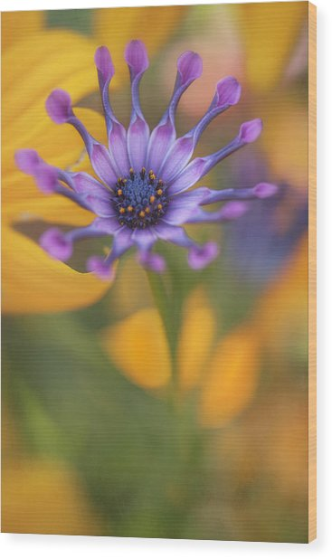 South African Daisy Wood Print