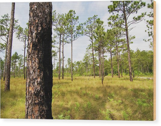 Southeast Pine Savanna Wood Print