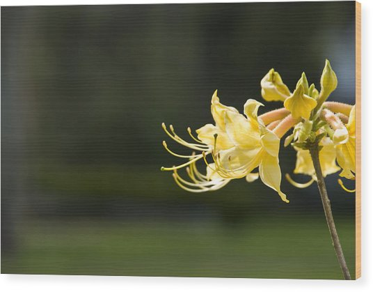 Southern Azalea Wood Print by Jennifer Kelly