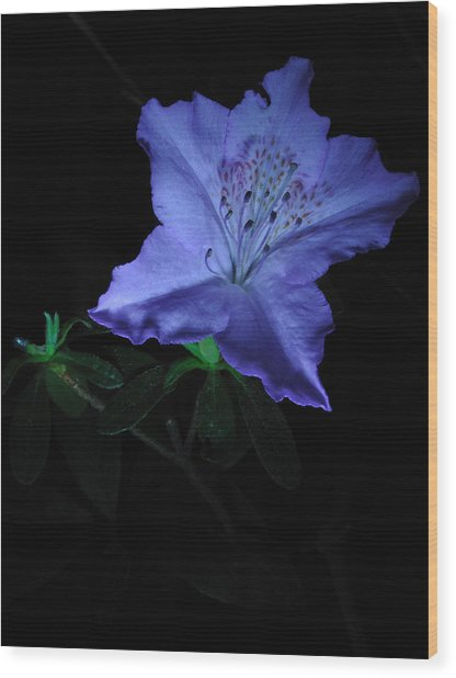 Southern Indica Azalea 1 Wood Print