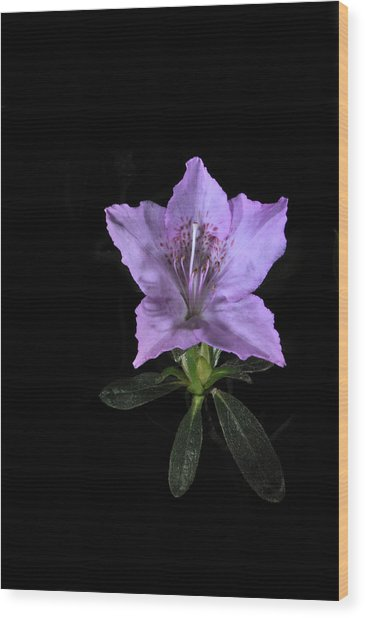 Southern Indica Azalea 2 Wood Print