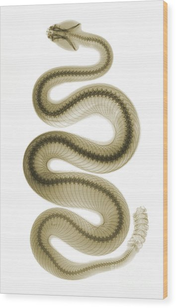 Southern Pacific Rattlesnake, X-ray Wood Print