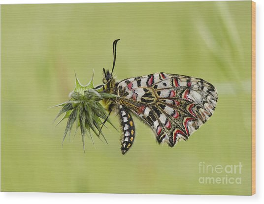 Spanish Festoon Butterfly Wood Print