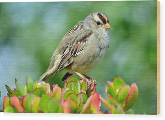 Sparrow Song 9 Wood Print