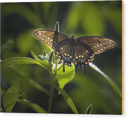 Spicebush Swallowtail I Wood Print
