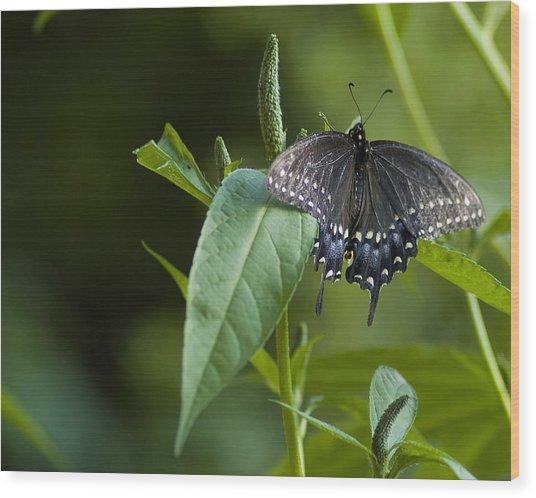 Spicebush Swallowtail II Wood Print