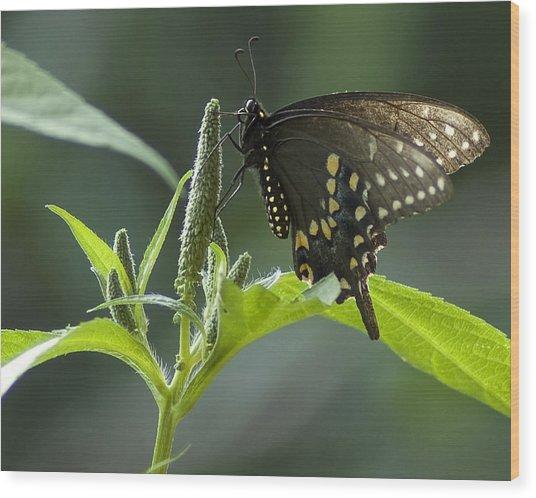 Spicebush Swallowtail IIi Wood Print