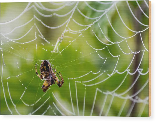 Spider And Spider Web With Dew Drops 05 Wood Print