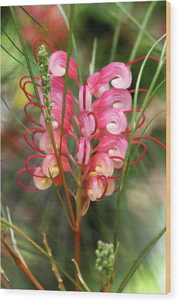 Spider Flower Wood Print by Gerry Walden