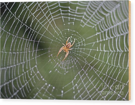 Spider In A Dew Covered Web Wood Print