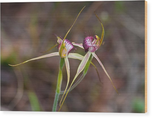 Spider Orchid Australia Wood Print
