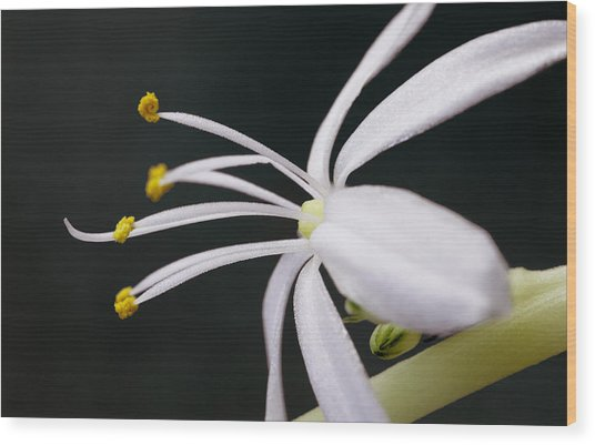 Spider Plant Flower Wood Print
