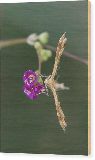 Spiderling Plume Moth On Wineflower Wood Print