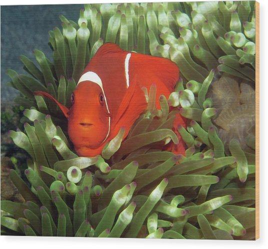 Spinecheek Anemonefish, Indonesia 2 Wood Print