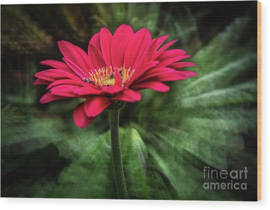 Spiral Pink Flower Focus Wood Print