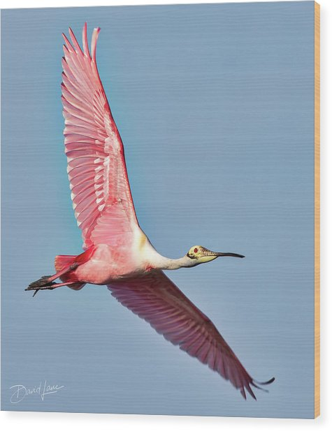 Wood Print featuring the photograph Spoonbill Flying Over by David A Lane
