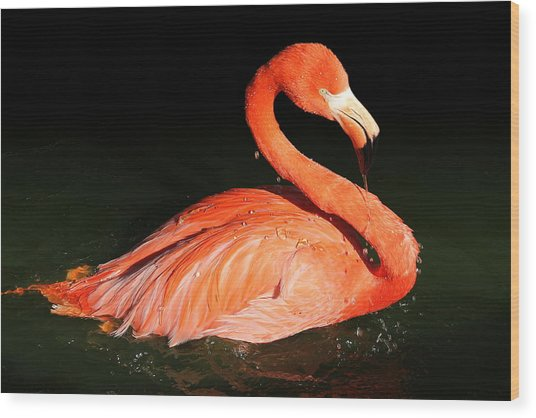 Spotlight On A Bathing Flamingo Wood Print