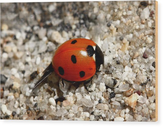 Spotted Ladybug Wings Dragging In Sand Wood Print
