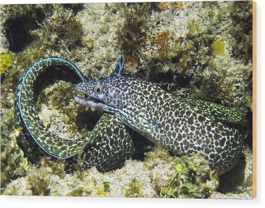Spotted Moray Eel Wood Print