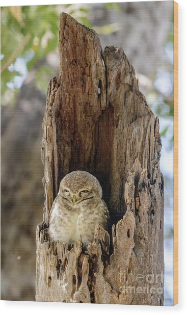 Spotted Owlet Wood Print