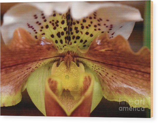 Spotted Paphiopedilum Orchid 2  Wood Print