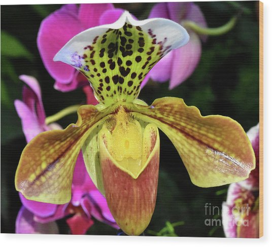 Spotted Paphiopedilum Orchid  Wood Print