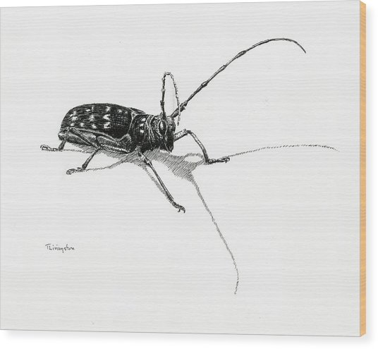 Spotted Pine Sawyer Wood Print