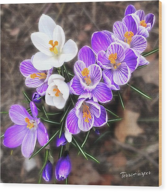Spring Beauties Wood Print