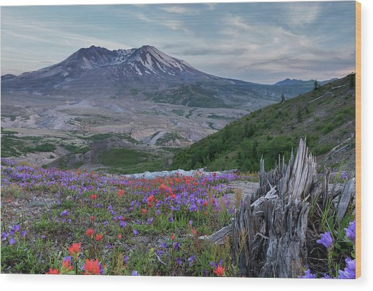 Spring Bloom Mt St Helens Wood Print