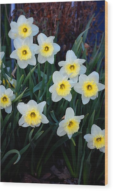 Spring Daffodills Wood Print by Jame Hayes
