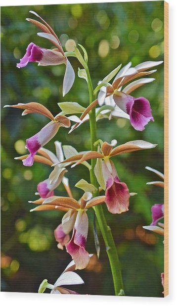 Spring Show 15 Nun's Orchid 1 Wood Print