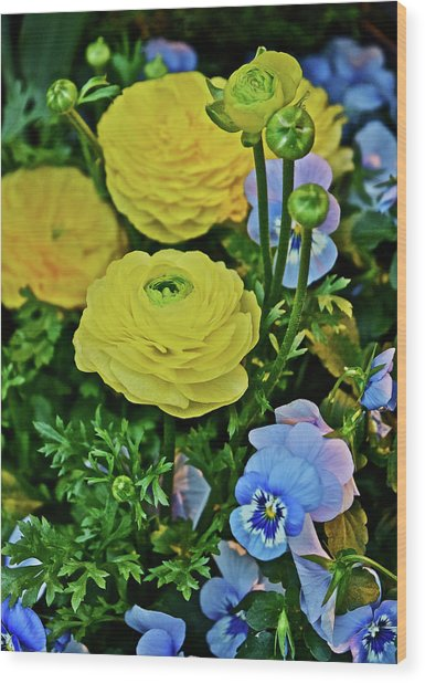 Spring Show 18 Persian Buttercup With Horned Viola Wood Print
