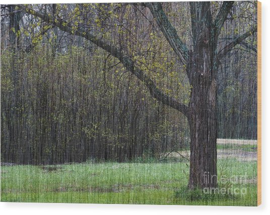 Spring Shower Wood Print