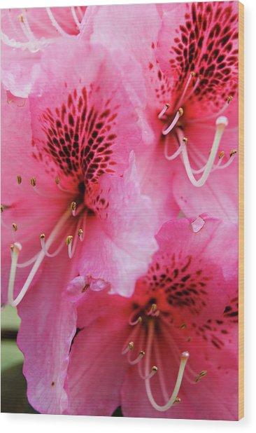 Springtime Azalea Wood Print