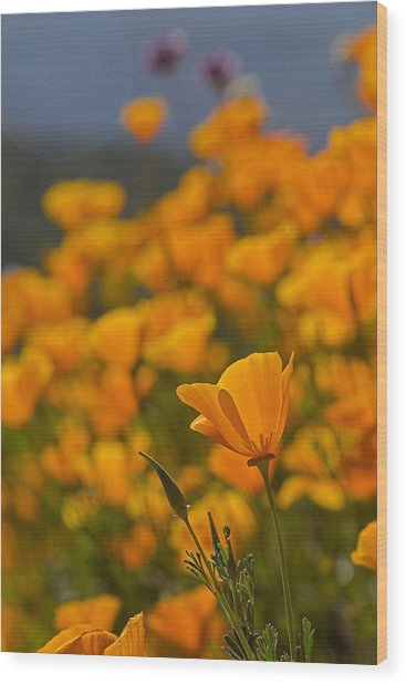 Springtime Poppies Wood Print