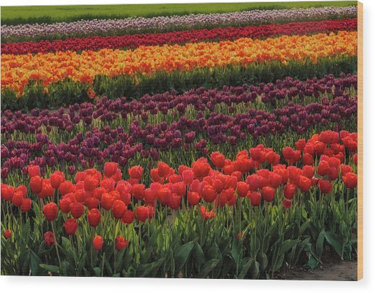 Wood Print featuring the photograph Springtime Tulips by Susan Candelario