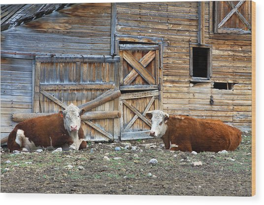 Squires Herefords By The Rustic Barn Wood Print