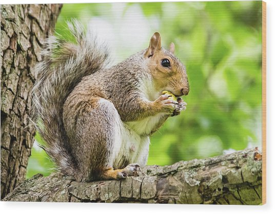 Squirrel Eating On A Branch Wood Print