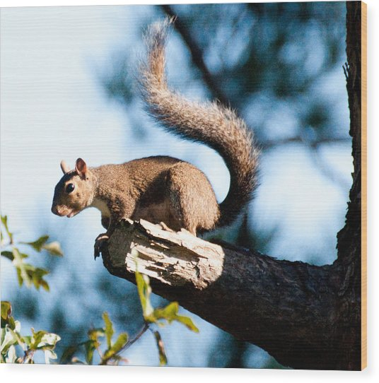 Squirrel On Limb Wood Print by Bill Perry